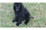 Picture of AKC Standard Poodle Puppies