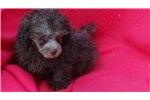 Picture of AKC Toy Poodle Puppies