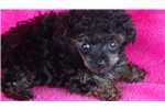 Picture of AKC Female Toy Poodle Puppy