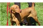 Picture of AKC Male Vizsla Puppy