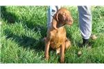 Picture of AKC Male Vizsla Puppies