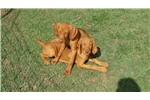 Vizslas for sale