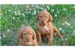 Picture of Vizsla Puppies , AKC