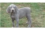 Picture of AKC Female Weimaraner Puppy