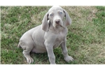 Spinone Italiano for sale