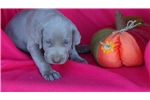 Picture of AKC Male Weimaraner Puppy