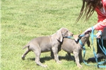 Picture of AKC Weimaraner Puppies