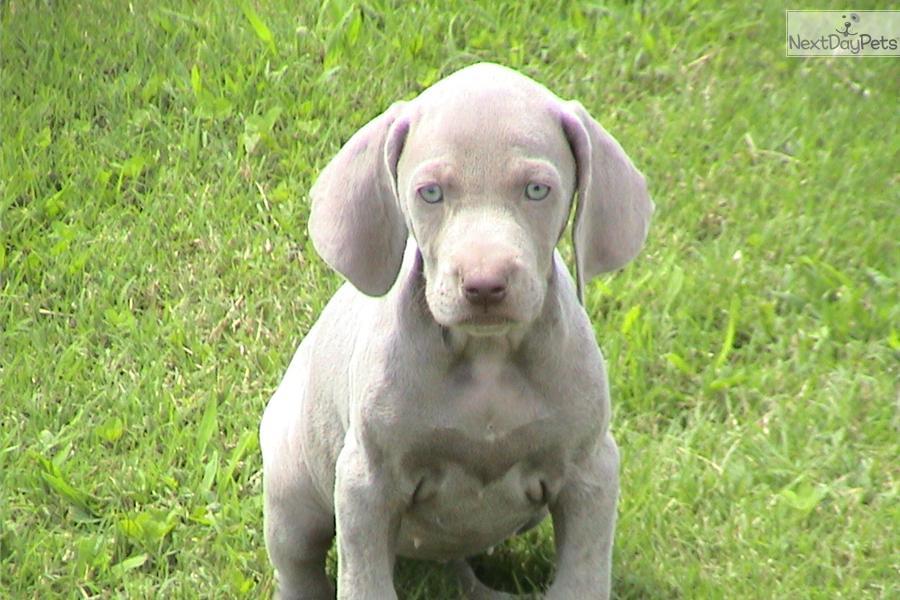 Meet Bonnie a cute Weimaraner puppy for sale for $600. AKC ...