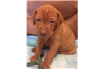 Picture of DarkGreen Collar Male puppy available for purchase