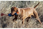Picture of Red collar Male puppy available for purchase