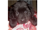 Picture of AKC Newfoundland Puppy Male Black (Blue)