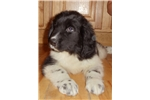 Picture of AKC Newfoundland Puppy Female Landseer