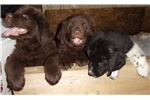Picture of AKC Newfoundland Puppy Male Brown