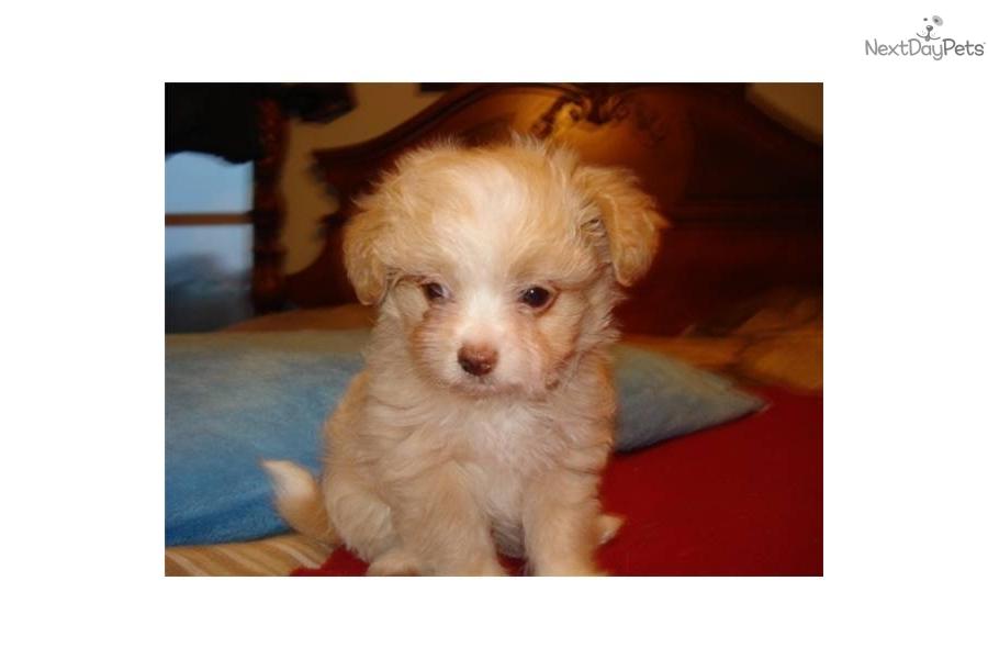 Moxie Dog Breed Puppies