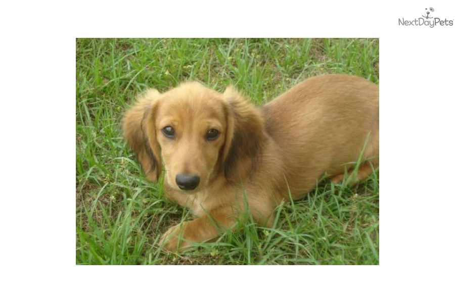 Shaded Cream Dachshund Puppies http://www.nextdaypets.com/directory/dogs/21b12dab-6671.aspx