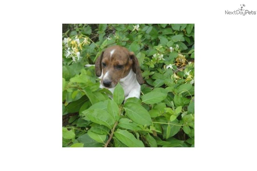 texas-dachshund-duke-akc-brindle-piebalddog-dachshund-mini-puppy