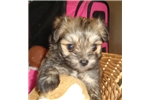 Picture of Mickey....cutie sable Chipoo texaspuppypal.com