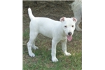 Picture of Caspar all white smooth coat -texaspuppypal.com
