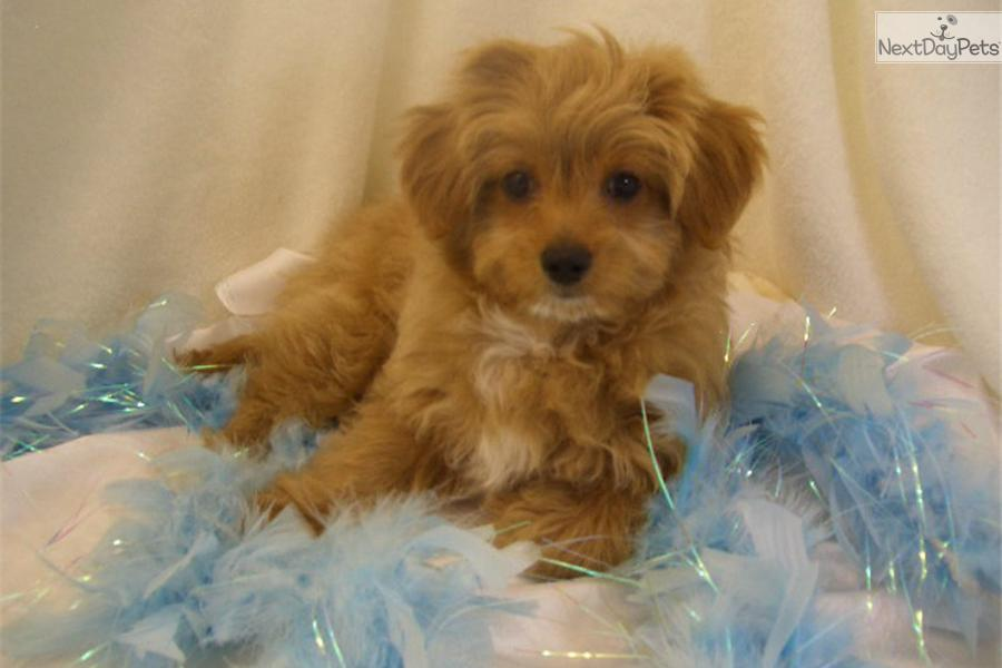 chi poo dog breeds picture