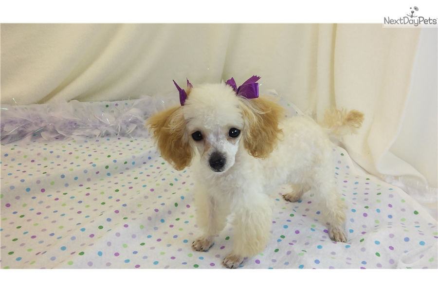 Teacup Dogs For Sale In Missouri