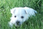 Picture of Tilly's georgous male yellow collar