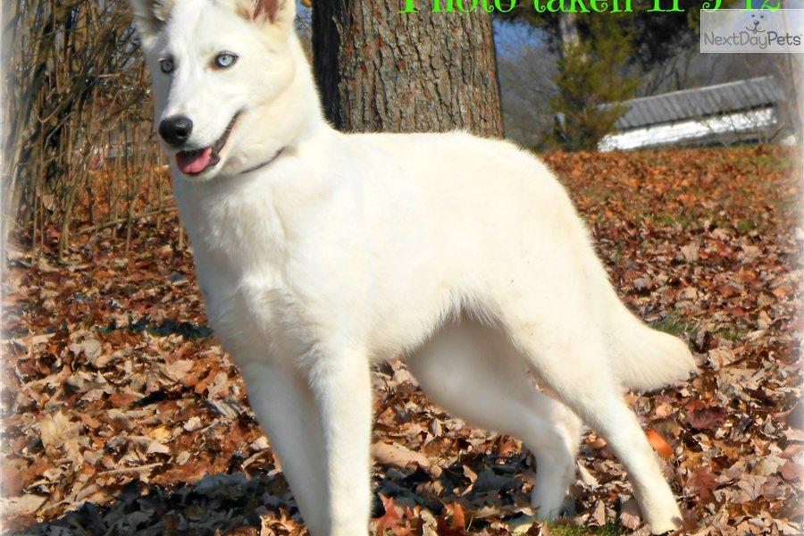Alaskan white