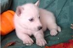 Picture of Matoskah m Wolf Husky