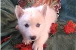 Picture of Nashoba f Wolf Husky