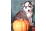 Picture of Low Content Wolf Husky Pup