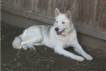 Picture of Aphrodite (f) Wolf Dog