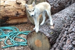 Picture of High Content Wolf Dog Pup