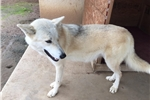 Picture of Storm Mid Content Wolf Dog