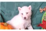 Picture of Luna f Wolf Husky