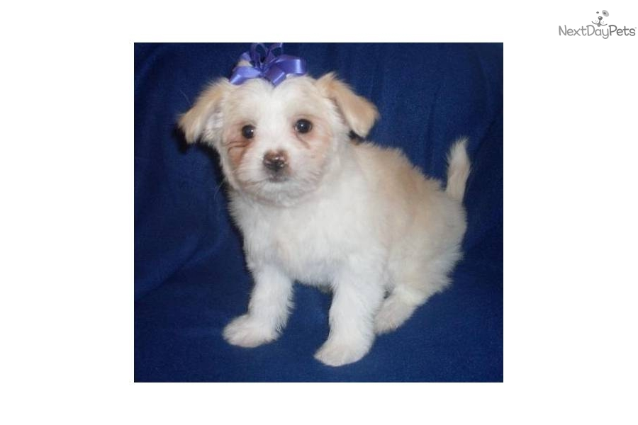 MalChi - Dolly Maltese x Chihuahua | Mixed/Other puppy for ...