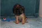 Picture of AKC KEVIN