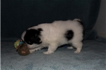 Picture of DANNY RAE - AKC Japanese Chin girl