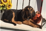 Picture of AKC Ruger