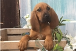 Picture of AKC Anuabell