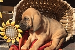 Picture of AKC Daisey May