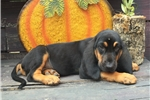 Picture of AKC Rocko