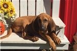 Picture of AKC Rusty