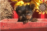Picture of AKC Prince