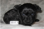 Picture of Teacup Yorkie Poo Female Puppy