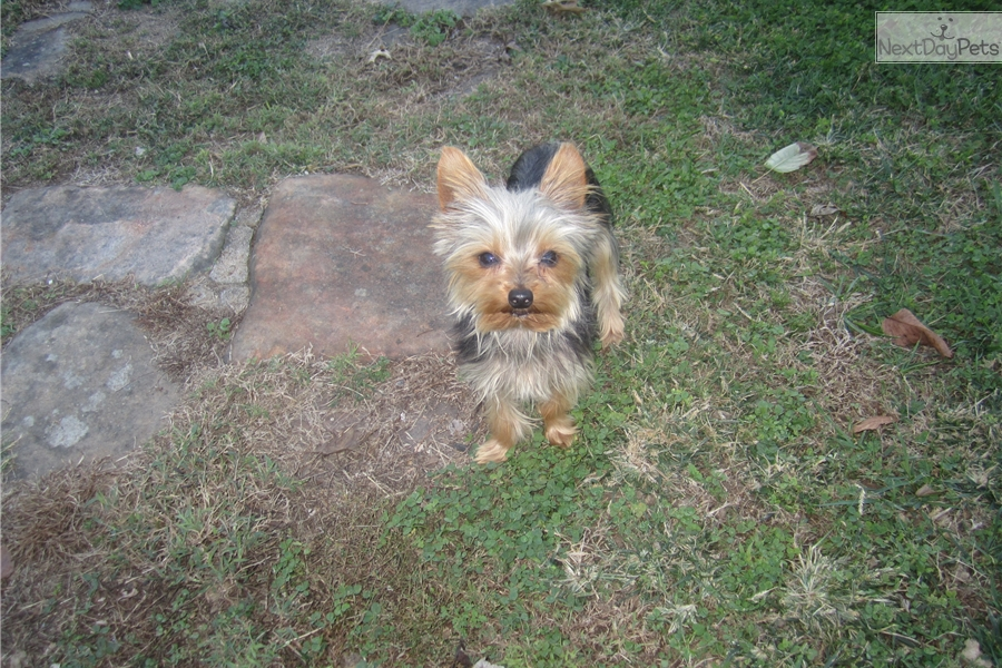 Teacup Yorkie Puppies For Sale In Missouri | Dog Breeds Picture