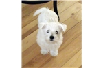 Picture of Westie baby girl AKC