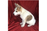 Picture of AKC Akita pups-males& females