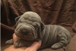 Picture of AKC mini shar pei pups, different colors&prices
