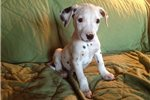 Picture of a Dalmatian Puppy