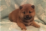 Picture of AKC Shiba males&females-Rdy March