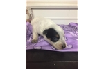 Picture of Female Blue Heeler Puppy 3093376060 I